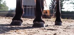 (dunkelbunt304) Tags: horse animal germany pony pferd lightroom icelandichorse islnder