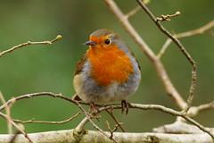 Robin on branch (P_1_B) Tags: bird nature robin birds wildlife birding sigma naturereserve isleofwight birdwatching sigma150500 sonya77 slta77 slta77v sonya77v arretonmeads arretonmeadsnaturereserve