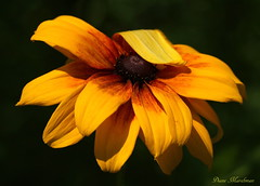 A Little Bashful (Diane Marshman) Tags: summer orange brown plant black flower nature yellow garden landscape petals bright susan pennsylvania blossoms large center suzy pa tall eyed blooms northeast perennial blackeyed blooming spreading