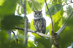 Striped Owl (GWD Photography) Tags: peru amazon rainforest arc jungle owl wilderness striped laspiedras madrededios faunaforever