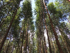 So Tall (The Forest Trust) Tags: wood pulp paper tft sustainable indonesia island asia nature forest seedling forestmanagement forestry landscape travel plant plantation local rural