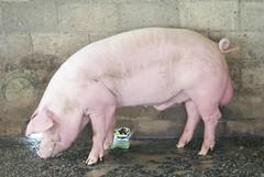 การเลี้ยงหมู ใช้แม่ TS1 100 ตัว เป็นฐานผลิตลูกสุกร ประกิจฟาร์ม ตอนที่ 2