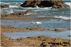 Simptica garceta. (margabel2010) Tags: paisajes naturaleza blanco azul fauna mar agua aves animales olas rocas ondas costas airelibre aguamarina garzas garceta costamarina blancoyazul marytierra paisajescosteros
