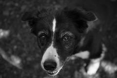 KevinKevkoAndres_Juli2015_201 (Kevin Kevko Andres) Tags: blackandwhite dog white 3 black animal canon out eos is mark cam hund l 5d usm ef f4 schwarz tier weis markiii outofcam 24205mm schwarzwis 5d3