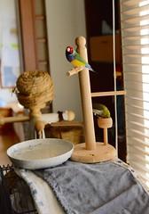 DSC_7863 (Jenny Yang) Tags: pet bird lady finch gouldian