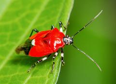 Stink Bug - Coryzorhaphis cruciata (Pentatomidae) 115s-15180 (Perk's images) Tags: insect costarica shieldbug tuis hemiptera neotropical aposematic ranchonaturalista pentatomoidea