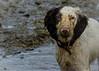 Christmas Day    Rupert style ! (TrevKerr) Tags: dog puppy pet animal dirty wet muddy spaniel englishspringerspaniel