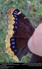 Mourning Cloak or Velo de Duelo (Nymphalidae, Nymphalis antiopa) (insectsunlocked) Tags: lepidoptera papilionoidea nymphalidae nymphalinae nymphalini nymphalis nymphalisantiopa nantiopa mourningcloak velodeduelo