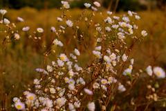 (elena.sim) Tags: flowers fiori kwiaty field white warm