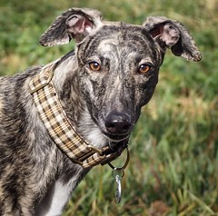 #zellagreyhound (tameraallen) Tags: zell zellagreyhound