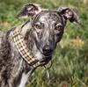 #zellagreyhound (tameraallen) Tags: zell zellagreyhound