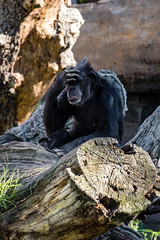 Thinking... (WhiteShipDesign) Tags: chimp chimpanzee monkey ape animal thinking zoo wildlife face black mammal expression funny looking one african primate thoughtful attention wondering gestures thought thinker smart background banner humorous environment conservation comical park national science intelligent darwin evolution intelligence funnyface funnyanimals monkeyface