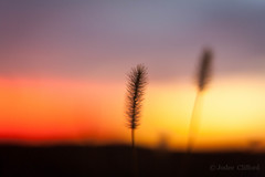 Seedy primary sunset (artseejodee) Tags: nj autumn 50mm color sunset primarycolors midatlantic flowersplants southjersey sky capemaycounty canon jerseyshore outdoors shore red blue yellow plant seeds depthoffeild f18