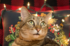 Starry-eyed Parker (tehchix0r) Tags: cat cats kitty kitties cute cutecat cutekitty christmas holiday tabby christmascat holidaycat
