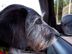 Mona Profile (Anthony Inswasty) Tags: mona portrait profile dog car honda crv suv chaco necklace beagle terrier girl little snout nose beard beardie eyes dolphin
