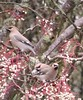 Waxwings (cocopie) Tags: waxwings rowan tree berries doune