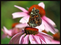 IMG_8269 Photo Bomber 7-24-16 (arkansas traveler) Tags: paintedladybutterfly butterfly paintedlady spider crabspider arachnid insects bichos bugs butterflies nature naturewatcher natureartphotography bokeh bokehlicious