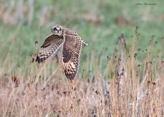 Short-eared Owl (sbuckinghamnj) Tags: shortearedowl owl raptor flight blackdirtregion newyork