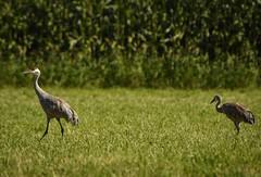 (Ian Threlkeld) Tags: nikon nikonphoto nikonphotography birdwatching britishcolumbia nature naturephotography wildlifephotography wildlife birds sandhillcranes cranes pittmeadows beautifulbc irt bc pnw westcoast summer bird explore explorebc
