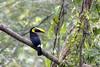 Toucan tocard (gilbert.calatayud) Tags: amérique centrale costarica toucan tocard ramphastos ambiguus black mandibled ramphastidés piciformes