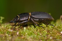 Dorcus parallelipipedus (Linnaeus, 1758). Hembra (Jesús Tizón Taracido) Tags: coleoptera polyphaga scarabaeiformia scarabaeoidea lucanidae dorcusparallelipipedus