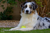 Gotcha Day Ball (Jasper's Human) Tags: australianshepherd aussie