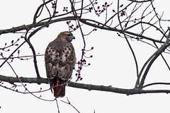 Red-Tailed Hawk (Le Monsieur de le Coin Bureau) Tags: wildlife nature wayne newjersey nj hawk bird redtailedhawk