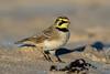 Shorelark (Simon Stobart) Tags: shorelark sand ground beach stones frozen ngc npc nature through the lens