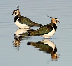 Lapwings (Jillandcamera) Tags: lapwing alkboroughflats lincs