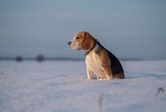 Portrait of a Beagle in the snow (androsoff) Tags: animal appearance background beagle beautiful breeding brown closeup cold cute dog doggy ears eyes field friend friendly frost fun funny head look mammal nose one outdoor park pedigree pet pitiful portrait purebred sit snow space thoroughbred tricolor watches whiskers white winter teaching training environment hunter
