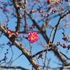 紅梅 (yocca) Tags: ume japaneseapricot botanic pink 梅 紅梅 京都