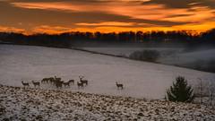 Wildwechsel (jan.scho) Tags: rot hirsch wild tiere sonnenuntergang himmelrot schnee feld wetterau reh dammwild sonnenaufgang stunde goldene