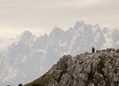 Buitre y Picos de Europa (elosoenpersona) Tags: buitre vulture sierra del sueve picos de europa torrecerredo wildlife asturias piloña elosoenpersona mountains landscape