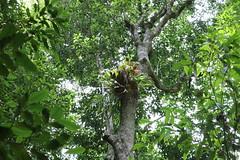 Schizomeria ovata tree with the Elkorn Fern (Poytr) Tags: schizomeriaovata schizomeria cunoniaceae polypodiaceae platyceriumbifurcatum platycerium arfp nswrfp qrfp rainforest kuringgaichasenationalpark warmtemperatearf warmtemperaterainforest sydneyrainforest terreyhills epiphyte arffern arfepiphyte nativecrabapple outdoor tree plant forest smithscreek sydneyferns