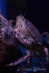Common Crab (NamikaOrcas) Tags: crabe crabcommun common tadoussac parcmarin redrouge aquarium crustacé arthropode invertébré