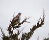 Red-tailed Hawk (Mawrter) Tags: redtailedhawk hawk raptor cloudy overcast nature wild wildlife perch perched avian bird birding specanimal animal outdoor whitebackground