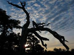 Dead Tree Sunrise (zoniedude1) Tags: arizona sky deadtree sunrise dawn mogollonrim silhouette therim forest morningsky clouds summer edge view deadtreesunrise gnarlydeadtree silhouettes colorfulsky coloradoplateau rim escarpment sitgreavesnf asnf apachesitgreavesnationalforest outdoors adventure exploration discovery beauty 7800ftelevation rimexpedition2015 outinthewild nature southwest canonpowershotg12 pspx8 zoniedude1 earthnaturelife