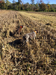 Drake Landing Chukar Hunting (SmithShady) Tags: huntingdogs germanshorthairpointer fox chukar drakelanding sxs shotgun dogs sam diamond