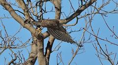 Sharp Shinned Hawk (kearneyjoe) Tags: sharpie sharp shinned hawk bowring park duck pond
