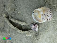 Tiger moon snail (Notocochlis tigrina) (wildsingapore) Tags: chekjawa pulau ubin natica tigrina mollusca gastropoda naticidae singapore marine coastal intertidal seashore marinelife nature wildlife underwater wildsingapore