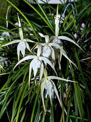 Rhynchovola David Sander (Eerika Schulz) Tags: rhynchovola david sander berggarten hannover herrenhausen herrenhäuser garten orchidee