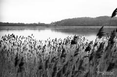 Frozen lake (Björn Jäderland) Tags: sjö vatten svart vit vass