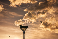 Seagull sunset, St Clair (Ian@NZFlickr) Tags: sunset seagulls light street st clair dunedin otago nz esplanade