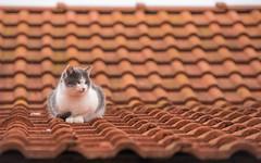 kittens (36) (Vlado Ferenčić) Tags: roof kitty kittens catsdogs cats animals zagorje hrvatska hrvatskozagorje croatia nikond600 nikkor8020028 animalplanet vlado ferencic