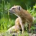 Posing mongoose II