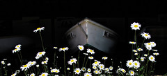 In the boat shed (or breasting the daisy wave) (Maine Islander) Tags: museum daisies boat skiff northhavenmaine northhavenhistoricalsociety