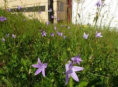 Wiesenglockenblumen (stoerche-bw) Tags: strasse weg badwaldsee campanulapatula wiesenglockenblume magerrasen steinacherstrasse
