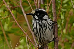 New Holland Honeyeater (Rodger1943) Tags: australianbirds newhollandhoneyeater honeyeaters fz1000