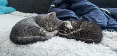 Kitten (rainerstropek@yahoo.com) Tags: cats cat kitten katze katzen ktzchen