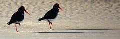 Oyster Catchers In Step (mottobedis) Tags: red sea white beach balck oystercatcher instep